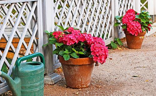 Розовая гортензия принимает солнечную ванну