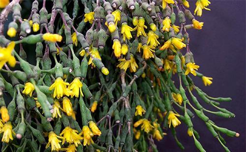 Желтые цветы хатиоры