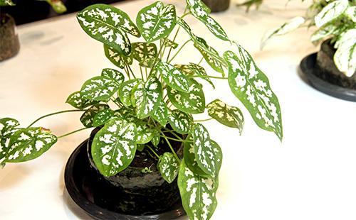 Зеленые листья каладиума
