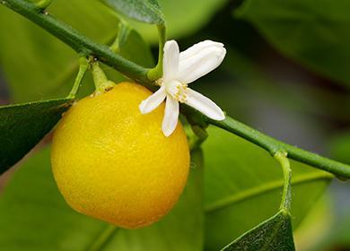 Белый цветок и поспевший фрукт на веточке