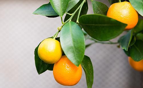 Спелые плоды каламондина в ветвях