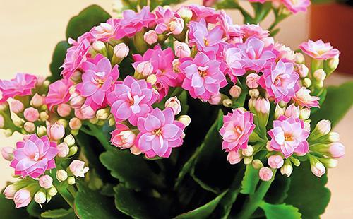 Розовые лепестки цветов каланхоэ