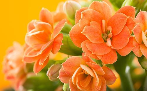 Цветы домашнего доктора на оранжевом фоне