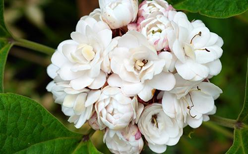 Цветущий Клеродендрум Душистый