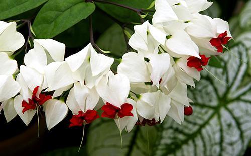 Белые с красным цветы клеродендрума
