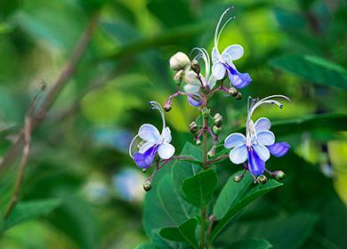 Цветы Голубая бабочка