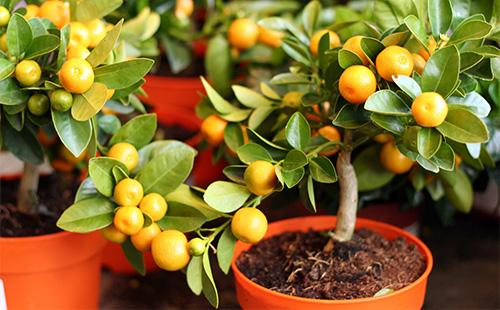 Декоратинвый мандарин в горшке