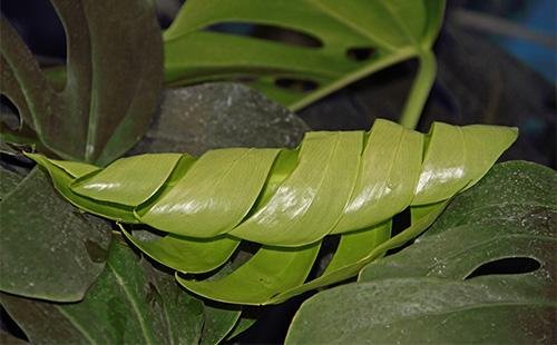 Скрученные листья монстеры