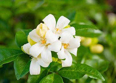 Белый цветок мурайи метельчатой
