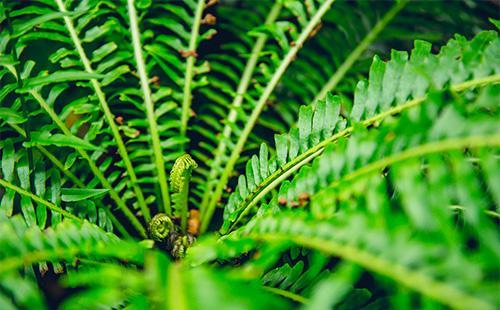 Листья невролеписа