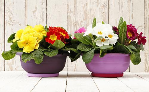 Два горшка с весенними цветами