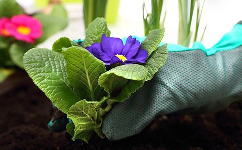 Рука держит кустик первоцвета