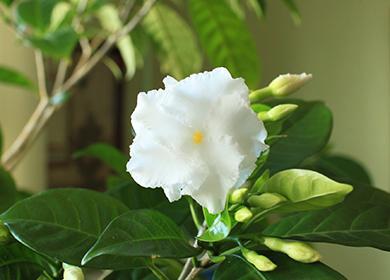 Цветущая индийская гвоздика
