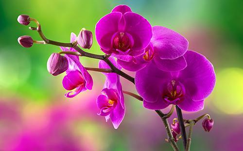 Фиолетовый цветок орхидеи