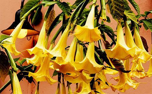 Желтые цветы бругмансии