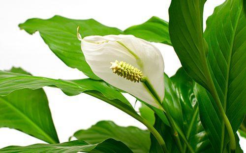 Тёмно-зелёные листья обрамляют белый цветок