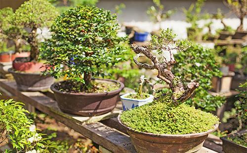 Два дерева бонсай