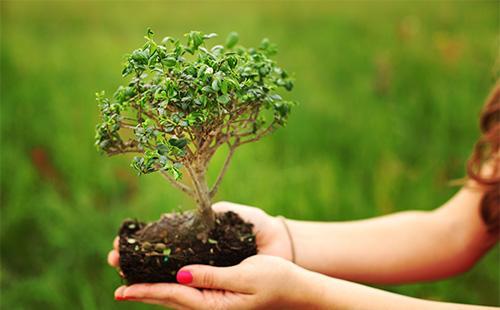 Дерево бонсай в руках