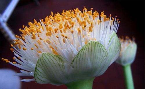 Цветок гемантуса