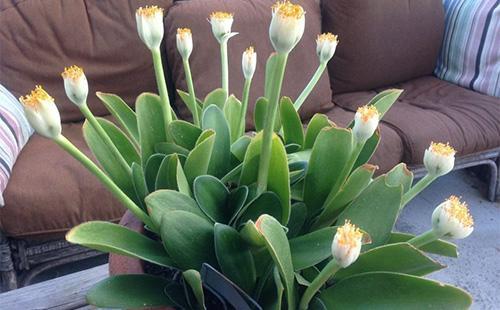 Комнатное растение -гемантус