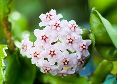 Необычные цветы хойи мясистой