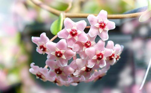 Прекрасные цветы воскового плюща