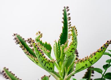 Каланхоэ Дегремона: уход вдомашних условиях, цветение, способы размножения, болезни и вредители