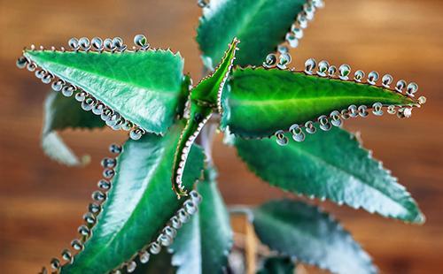 Здоровые листья суккулента