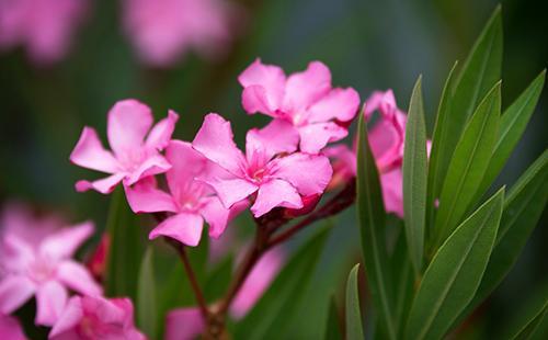 Цветы олеандра обыкновенного
