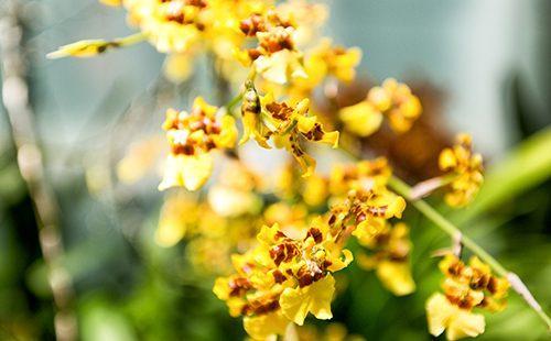 Ярко-жёлтые цветы танцующей куколки