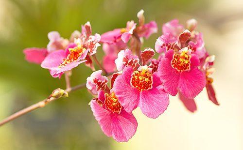 Онцидиум розовой окраски