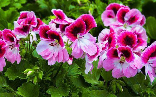 Яркие цветы пеларгонии