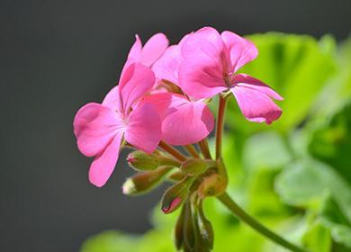 Весеннее цветение плющелистной пеларгонии