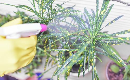 Опрыскивает растение