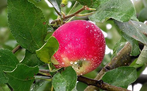 Красное яблоко на дереве