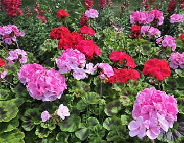 Разноцветные цветы герани