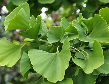 Растение гинко билоба