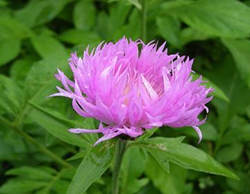 Цветок маральего корня крупным планом