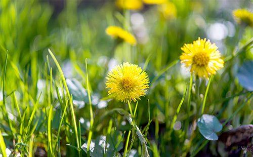 Желтые цветы мать и мачехи