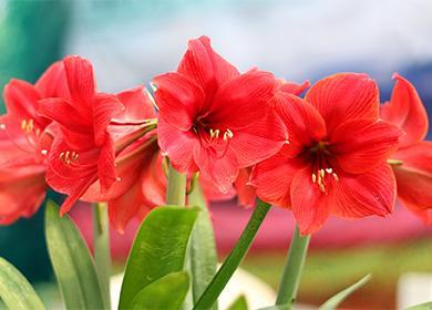Цветы амарилиса