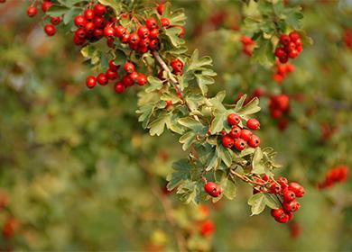 Ветка ягод боярышника