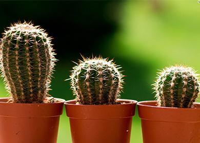 Три маленьких кактуса