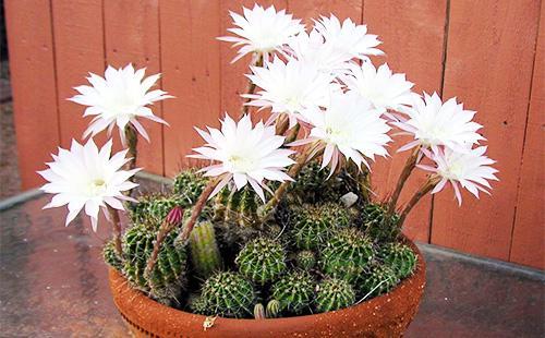 Цветы кактуса эхинопсис