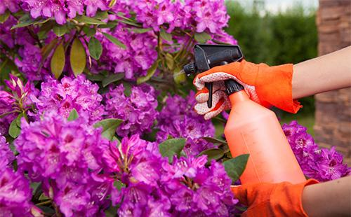 Опрыскивание азалии садовой