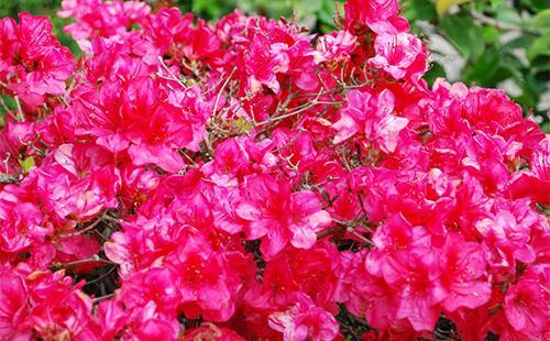 Красные цветы азалии