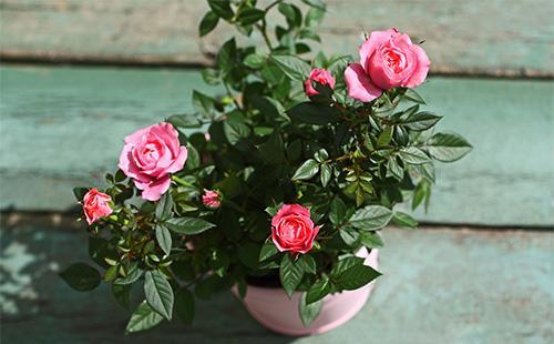 Комнатная розовая роза