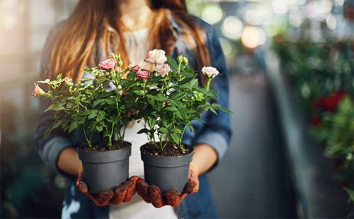 Два горшка с комнатной розой в руках у девушки