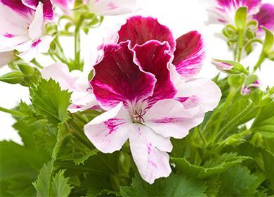 Цветок крупной пеларгонии