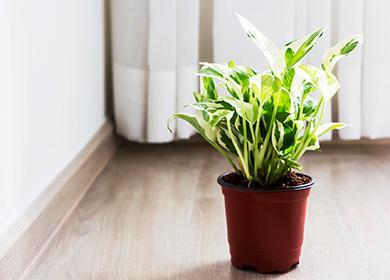 Растение сциндапсус в горшке