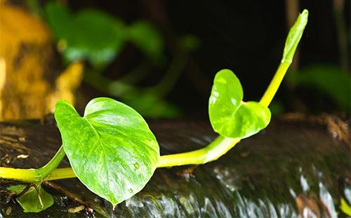 Листья сциндапсуса
